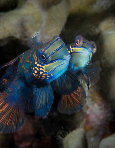 Mandarin Fish by René Majoleth ( Mandarinfische)