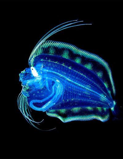 Larval Flounder by Raymond Wennekes (Larvenflunder)