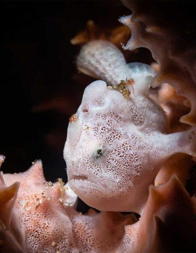White Juvenile Frogfish by Heinz Erich Zappel (Anglerfisch)